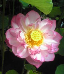 あまりに美しいので、造花のよう・・・花言葉は 「雄弁」「休養」「沈着」「神聖」「清らかな心」「離れゆく愛」