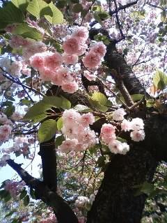 ぽんぽん桜~♪♪♪