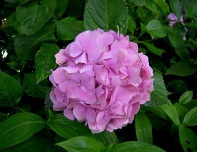 紫陽花ピンク♪