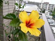 20060604flower