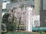 20060323sakura