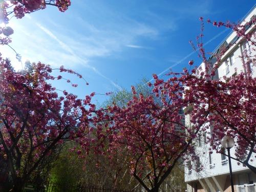4月1日桜