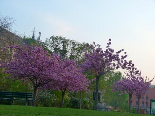 4月6日公園脇散歩