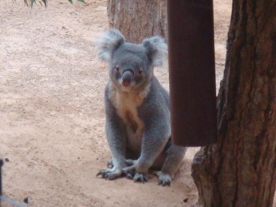 コアラです・・・