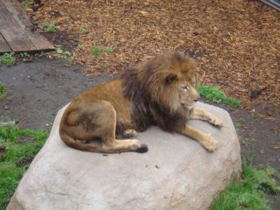 ライオンさん・・・