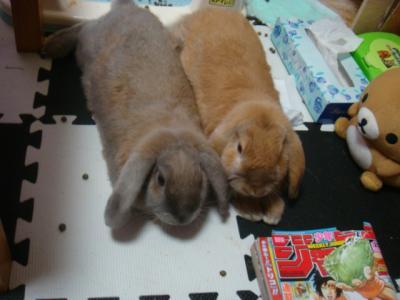 上から撮った、まったりウサギ・・・
