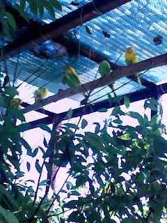 080909_1336~001小鳥ランドのインコたち