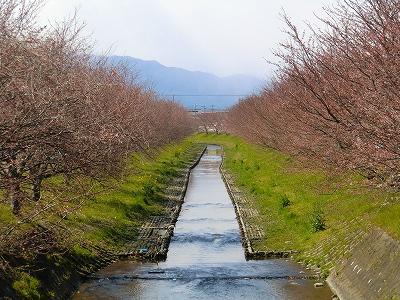 花田川の桜