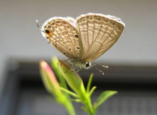 1シジミ蝶