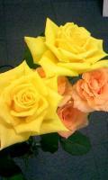 6-26元のバラ