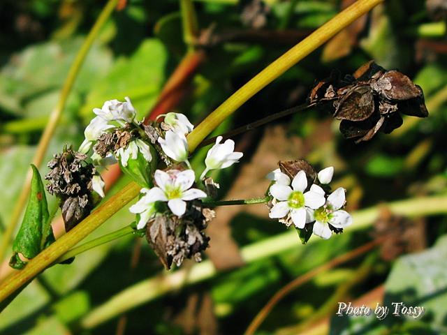 ソバの花 実