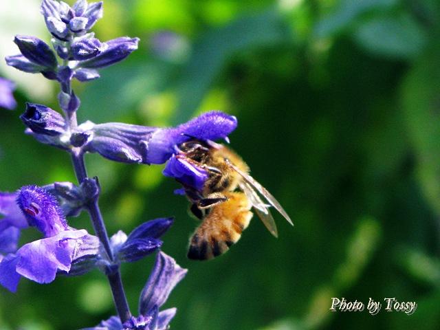 サルビアとハチ