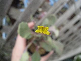オトンナ_アルミアーナ花
