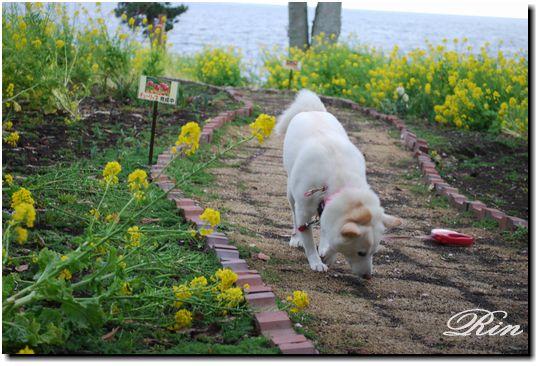 菜の花畑~