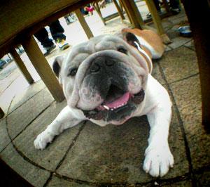 bulldog20.jpg