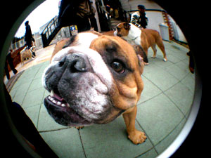 bulldog21.jpg