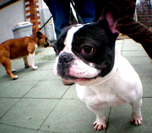 bulldog24.jpg