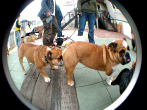 bulldog30.jpg