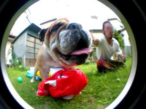 bulldog41.jpg