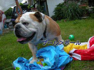 bulldog42.jpg