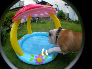 bulldog44.jpg