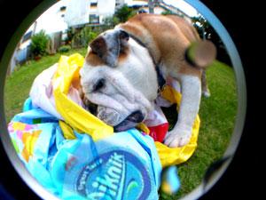bulldog45.jpg