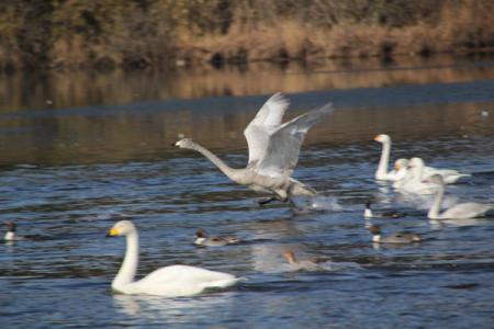 弁天池の白鳥
