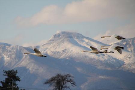 羽田田圃の白鳥