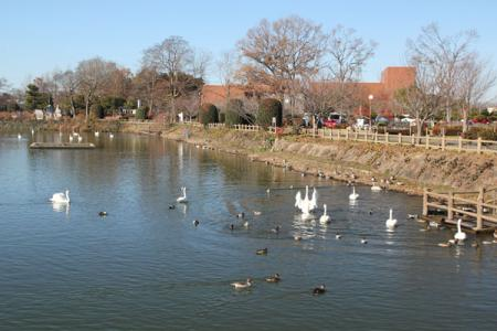 一ノ関ため池の白鳥