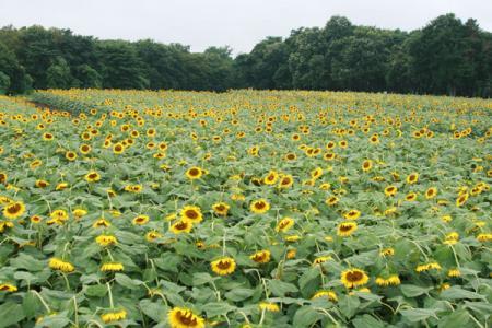 上三川の向日葵