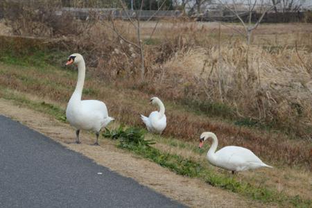 霞ヶ浦の白鳥
