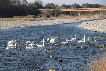 片田の白鳥