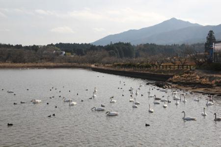 ますみが池の白鳥