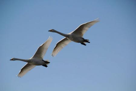 大塚池の白鳥