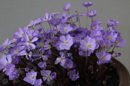 春の山野草展