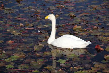 清水沼の白鳥