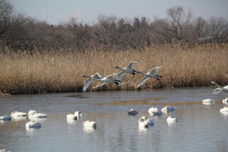 菅生沼の白鳥