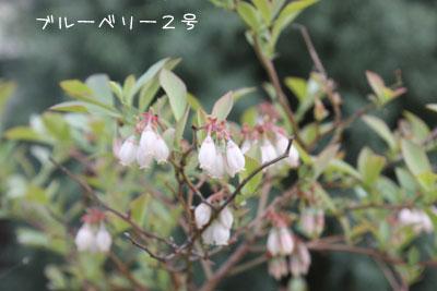 ブルーベリー2号花0507