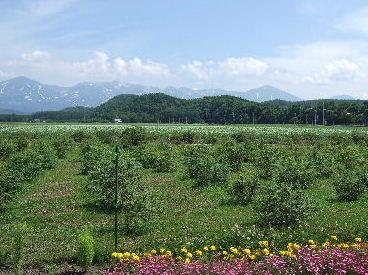 ハスカップ畑