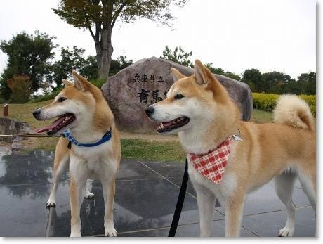 柴犬ツーショット!