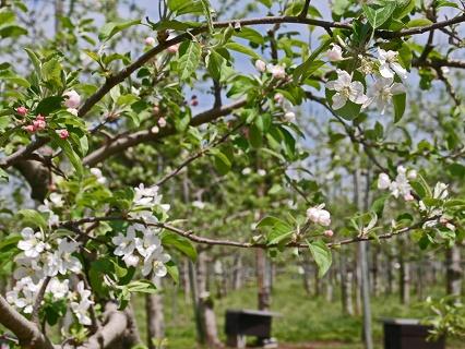 2009.4.29長井のリンゴの花 011