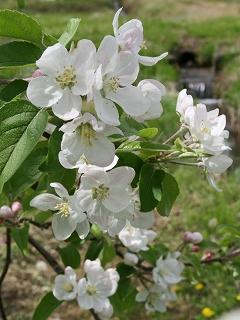 2009.4.29長井のリンゴの花 048