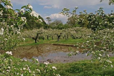 2009.4.29長井のリンゴの花 082