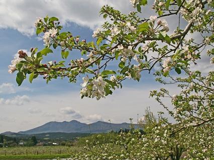 2009.4.29長井のリンゴの花 0