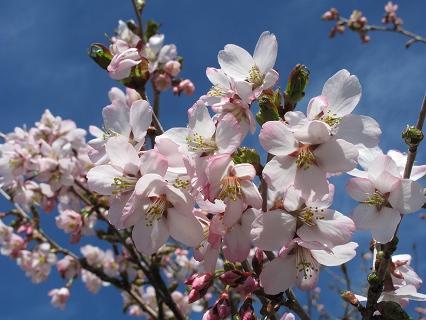 2009.5.19那須峰桜 129