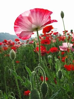2009.5.23喜連川ポピー3351