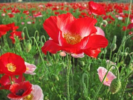 2009.5.23喜連川ポピー3312