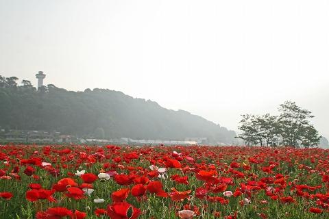 2009.5.23喜連川ポピー 043