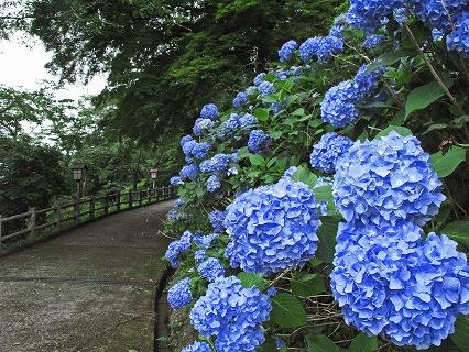 2009.6.20喜連川アジサイ075