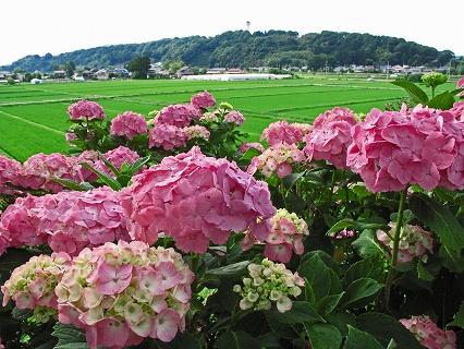 2009.6.21雨の喜連川アジサイ110